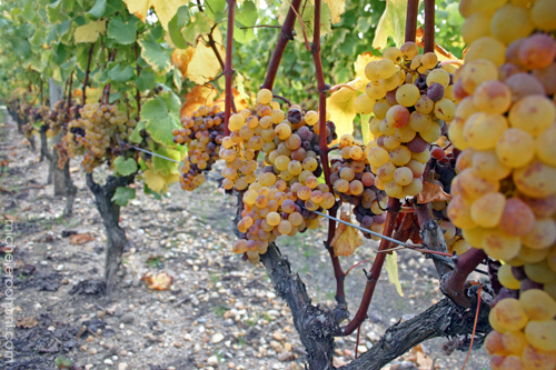 sauternes-grapes-noble-rot-michele-roohani1.jpg